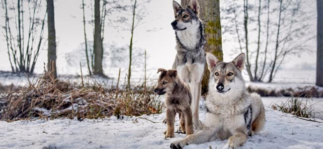 chien loup