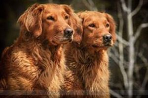 Golden retriever chien rapporteur