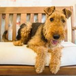chien airedale