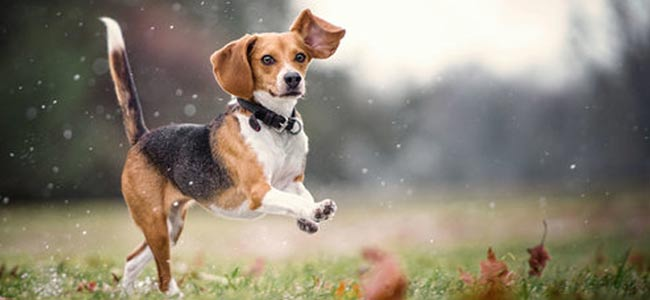 beagle chien chasse