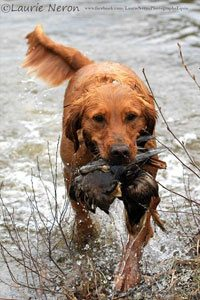 Golden retriever chasse