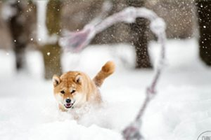 shiba obsession jouet chien