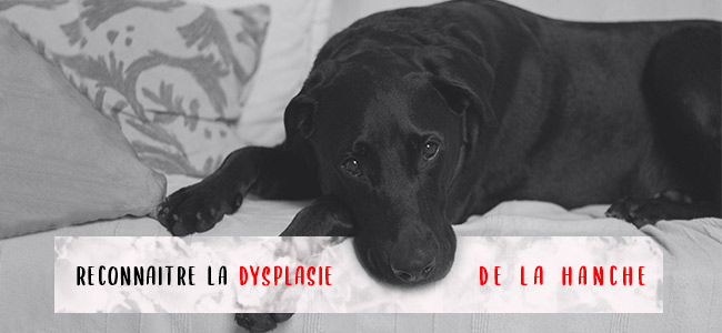 chien-problemes-hanches
